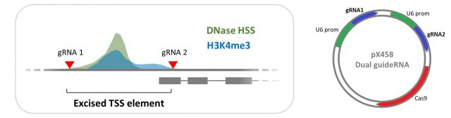 Improved lncRNA knockout method published